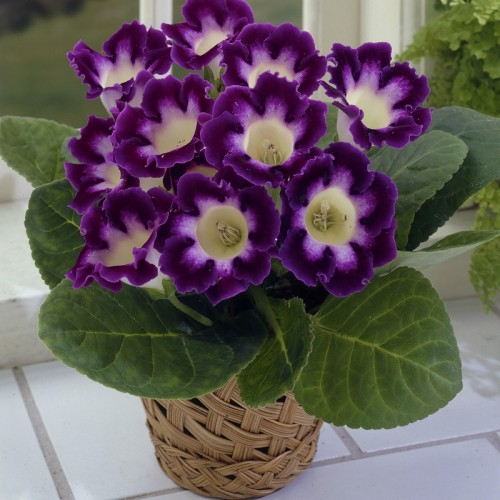 Bulbi Gloxinia hybrida Hollywood