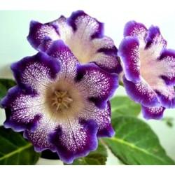 Bulbi Gloxinia hybrida Tigre Blue