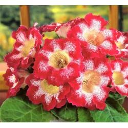 Bulbi Gloxinia hybrida Tigre Red