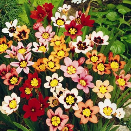 Bulbi Sparaxis tricolorMixed -pachet 10 bucati