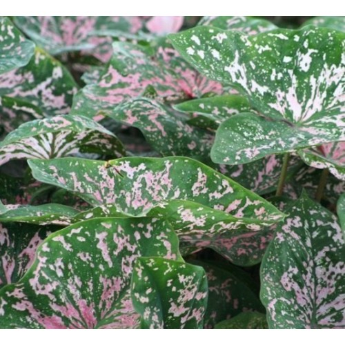 Bulbi Caladium Florida Elise
