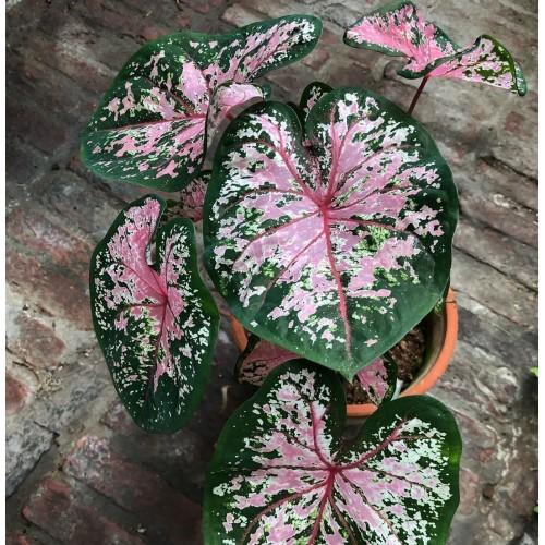 Bulbi Caladium Pink Beauty