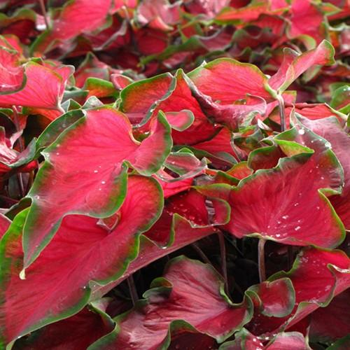 Bulbi Caladium Red Ruffles