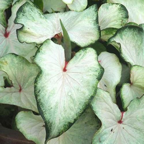 Bulbi Caladium White Wing
