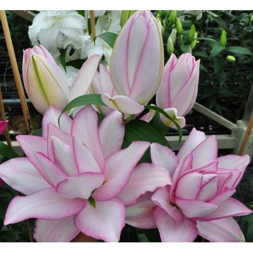 Bulbi Crini inalti - Lilium double Anouska