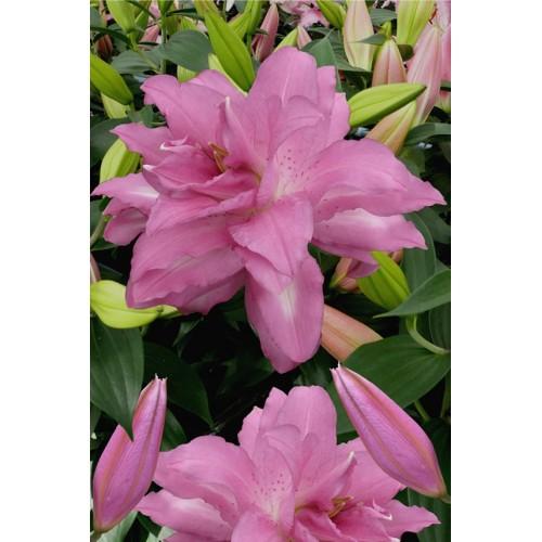 Bulbi Crini inalti - Lilium double Lotus Dream