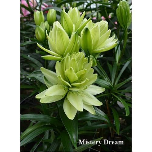 Bulbi Crini inalti - Lilium double Mistery Dream