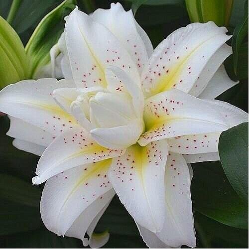 Bulbi Crini inalti - Lilium double Sita