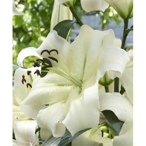 Bulbi Crini inalti -Lilium Pretty Woman
