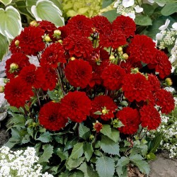 Bulbi Dahlia pitica Pacific Red