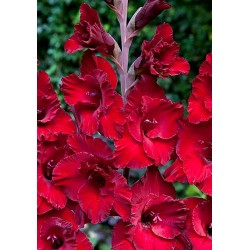 Bulbi Gladiole Cardinal