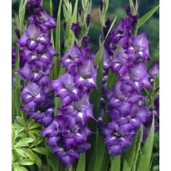 Bulbi Gladiole -Big- Macarena