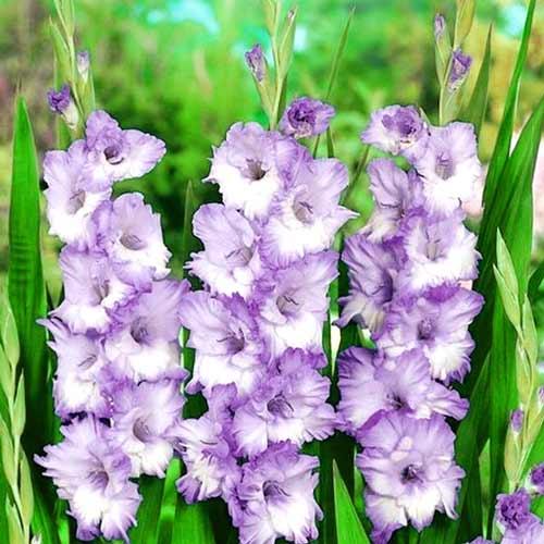 Bulbi Gladiole Blue Frost