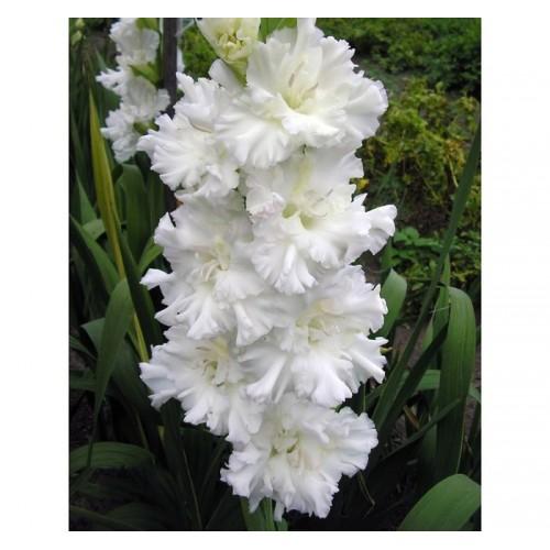 Bulbi Gladiole -Frizzled- Bangladesh