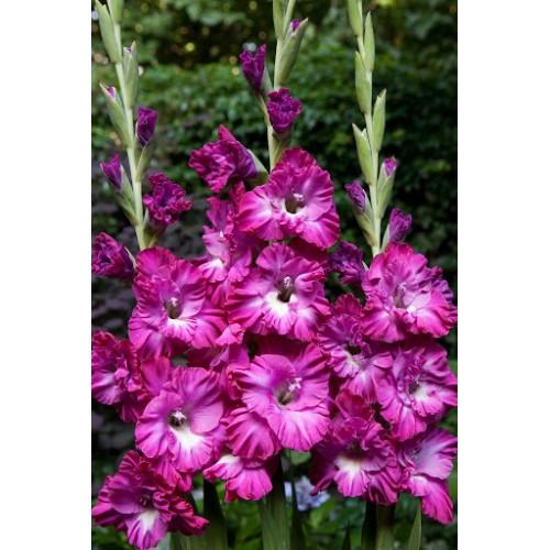 Bulbi Gladiole -Frizzled- Nablus Ruffle