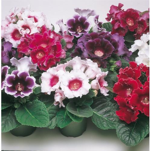 Bulbi Gloxinia hybrida- Pachet 10 bulbi