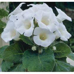 Bulbi Gloxinia hybridaMont Blanc
