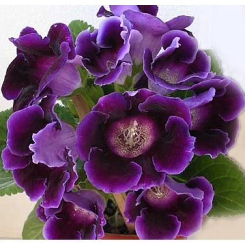 Bulbi Gloxinia hybrida Prins Albert