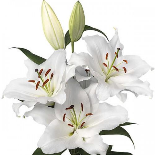 Bulbi Crini inalti -Lilium Premium Blond