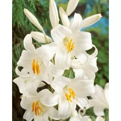 Bulbi Crini-Lilium candidum