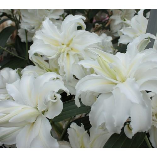 Bulbi Crini inalti - Lilium double Twinkling Star