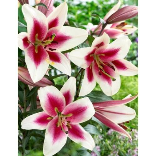 Bulbi Crini inalti- Garden Pleasure
