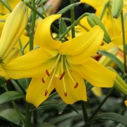 Bulbi Crini inalti-Lilium Pearl Melanie