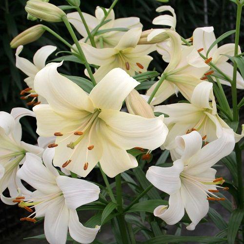 Bulbi Crini inalti -Lilium Pearl White