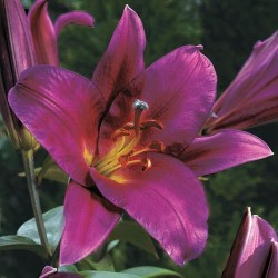 Bulbi Crini inalti -Lilium Purple Prince