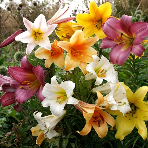 Bulbi Crini-Lilium regale-Pachet 100 bucati