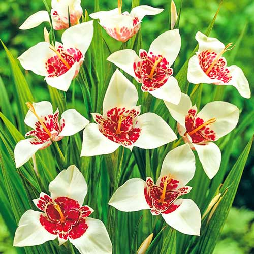 Bulbi Tigridia pavonia- pachet 10 buc-Alba Grandiflora