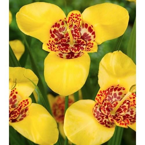 Bulbi Tigridia pavonia- pachet 10 buc-Aurea