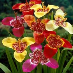 Bulbi Tigridia pavonia-pachet 100 buc-Mixed