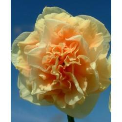 Bulbi narcise Double Flower Surprise