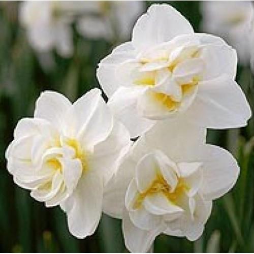 Bulbi narcise Double White Cheerfulness