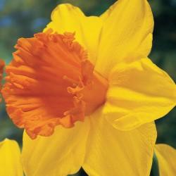 Bulbi narcise coroana mare  Orange Progress