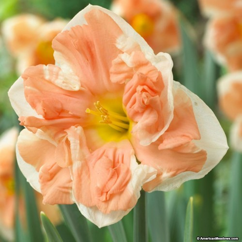 Bulbi narcise coroana crestata Apricot Whirl