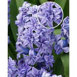 Bulbi zambile Blue Tango