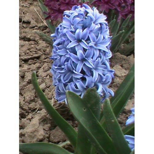 Bulbi zambile Delft Blue