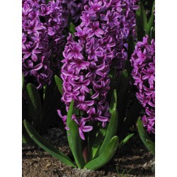 Bulbi zambile Purple Sensation