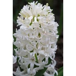 Bulbi zambile White Pearl
