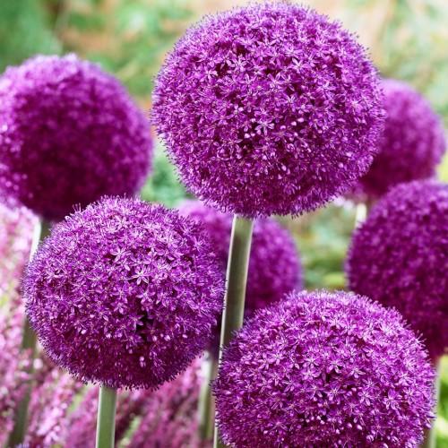 Bulbi Allium  Ambassador