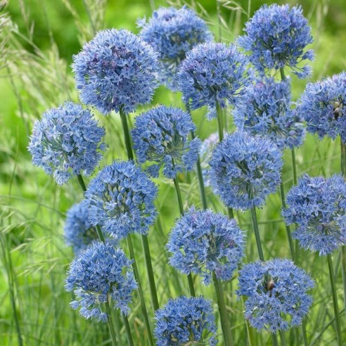 Bulbi Allium azureum Caeruleum-pachet 10 buc