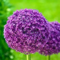 Bulbi Allium giganteum