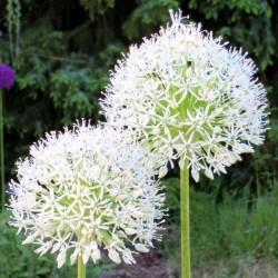 Bulbi Allium hirtifolium Album