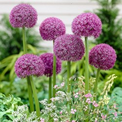 Bulbi Allium Pinball Wizard
