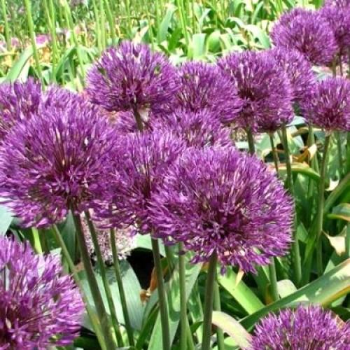 Bulbi Allium Powder Puff -pachet 5 bulbi