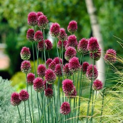 Bulbi Allium sphaerocephalon-pachet 10 buc