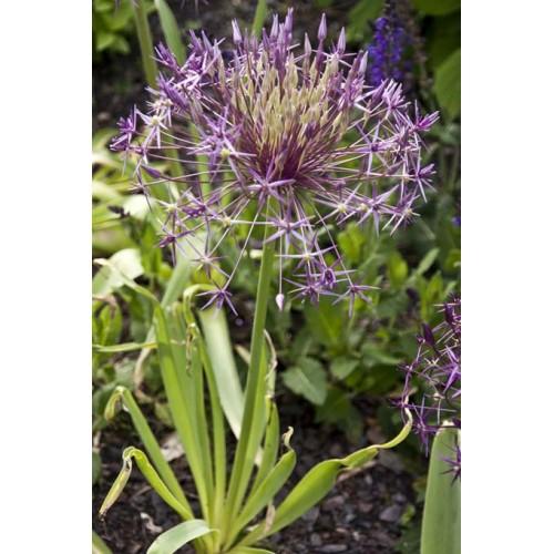 Bulbi Allium albopilosum Christophii