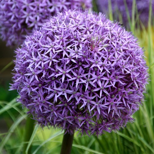 Bulbi Allium Globemaster